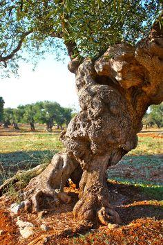 Olive tree outside Ostuni, Puglia