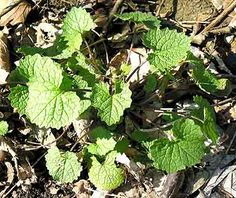 Garlic Mustard     This despised invasive plant is actually one of the best and most nutritious common wild foods.