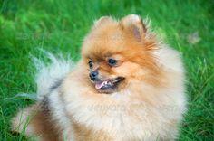 Spitz, Pomeranian Dog In City Park