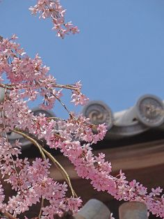 Ryoan-ji Shidarezakura and blossoms