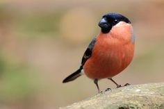 Fotograaf: kasteelheertje    Wat zijn die mannetjes toch mooi met hun rode borst.        Categorie:Vogels (mus, valk, etc)      Tags:goudvink        Nederlandse naam: Goudvink