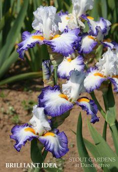 IRIS BRILLIANT IDEA | Stout Gardens at Dancingtree
