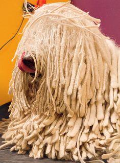 Komondor Unique Dog Breeds, Rare Dog Breeds, Best Guard Dogs, Best Dogs, Puli Dog Breed, Mop Dog, Hungarian Dog, Komondor, Frases