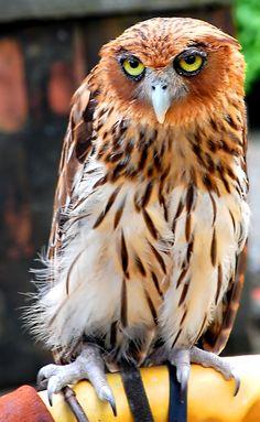 Philippensis Eagle Owl  # i am fine , and you? @sherryannDiesel@SHERRYANNDIESEL@Sherry Diesel@COPD Facebbook Community@
