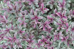 'Frozen Flame'  shrub A Nice Winter landscape shrub. Beautiful grey and white leaves develop purple tips in winter and spring. As the weather turns cold and sunny, the color becomes more intense. Large blue flowers appear in May and June.