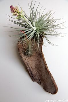 7 Easy Air Plant Adornments - 2 air plants on a weathered piece of eucalyptus bark