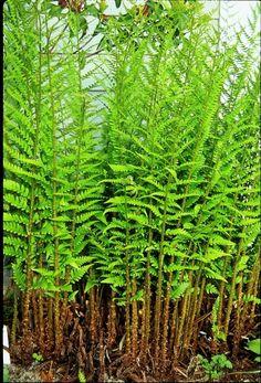 Dixie Wood Fern for sale buy Dryopteris x australis