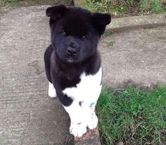 This fluff with the most charming head tilt. | Literally Just A Bunch Of Ridiculously Cute Akita Puppies