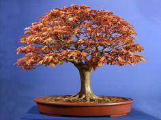 Copper Beech  http://bonsaieejit.com/blog/