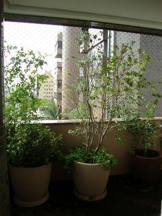 Foto: Helena Schanzer - Vasos com árores frutiferas na sacada: jaboticabeira e mirtilo ( á direita na foto)