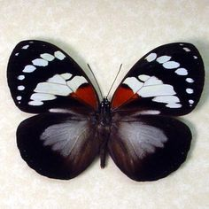 Forest Queen Butterfly Madagascar by REALBUTTERFLYGIFTS on Etsy, $39.99