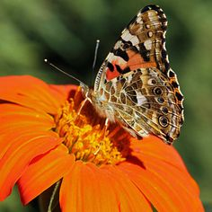 Beautiful painted lady butterfly taken by gardening for wildlife expert #RSPB's Adrian Thomas.