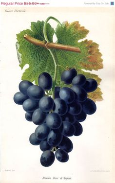 SALE 1883 Grapes Antique Fruit Print by AntiquePrintGallery, $21.25