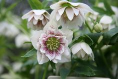 Helleborus × hybridus Harvington double speckled - Pink-flushed, white flowers that are attractively freckled with maroon, appear from late winter. Perfect for adding colour to the woodland floor, or for adding early interest to the front of a mixed border, hellebores are in flower at a time of the year when little else is. This means that not only do they add interest to the garden, they also provide a valuable source of nectar to foraging insects.