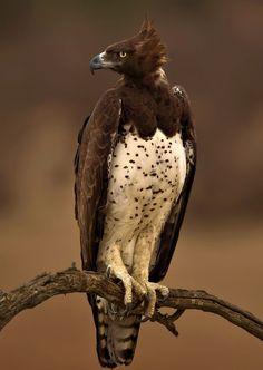 Birds of Prey - Marshall Eagle - by Fanie Heymans The Eagles, Pretty Birds, Beautiful Birds, Animals Beautiful, Exotic Birds, Colorful Birds, Mundo Animal, Big Bird, Birds Of Prey