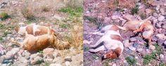 Repudia Atlixco masacre de perros en Huejotzingo