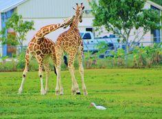 Giraffes / Lion Country Safari / West Palm Beach, Florida / January 2013 https://www.facebook.com/goodallphoto