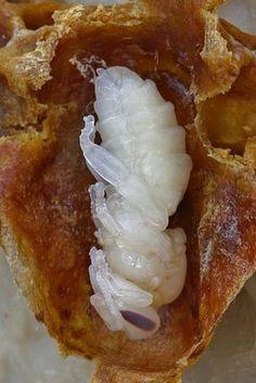 The Life of the Queen Bee #lefonceur #amvidutrading #Miel #déguster #crowdfunding #citation #crowdlending #argent #abeilles #trading #felins #écoSystème #merveilles #dégustation #découvertes #sirop #deguster #decouvert #lolivié971 #ChikouSpan