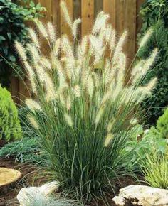 """D"" Hameln Dwarf Fountain Grass, full sun, high, great boarder / filler"