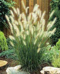"Hameln Dwarf Fountain Grass, full sun, 24"" high, great border / filler"