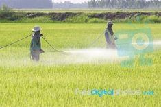 Farmers Spraying Pesticide Stock Photo