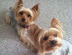 Nancy's Diego & Stormy Talboom ⋆ It's a Yorkie Life Yorkie Dogs, Yorkies, Second Love, Love Each Other, Cute Baby Animals, Cute Babies, Meet, Yorkshire Terriers, Community