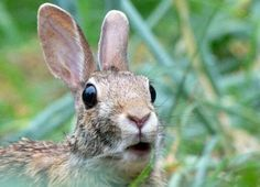 Smartphone bunny pics are an example of unwitting animal cruelty~Wikimedia Commons: http://upload.wikimedia.org/wikipedia/commons/8/8f/Rabbit_Looks_Surprised_by_Monique_Haen.jpg
