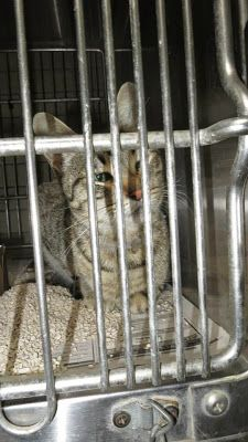 Downey CA: NEEDS RESCUER from high-kill shelter! ALL EARS BEAUTiful TABBY left behind after siamese sister adopted Siamese, Cats And Kittens, Shelter, Ears, Adoption, Animal, Blog, Beautiful, Foster Care Adoption