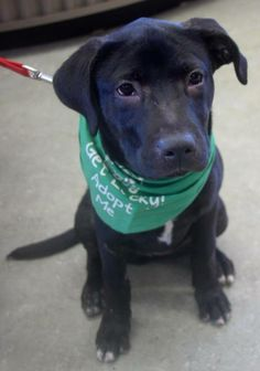 Finley is a 5 month old Lab mix puppy! She is so sweet and has such a wonderful energy...she loves to give puppy kisses! Finley is available for adoption from luckydoganimalrescue.org!  Adopted! Congratulations Finley on your furever home!