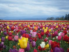 Tulip fields of Holland. I Really Want to go there