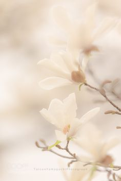 Magnolia by tatsuoyamaguchi #nature #photooftheday #amazing #picoftheday