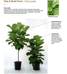 Fiddle Leaf Fig. Free and Bush form.