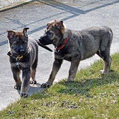 Dogs, Animals, Puppys, Animales, Animaux, Pet Dogs, Doggies, Animal, Animais
