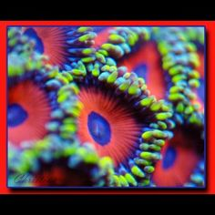 FOR SALE!  Candy apple zoanthid
