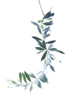 olive branch | STILL (mary jo hoffman)