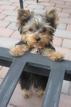 Bailey - Yorkie ♥ What a cutie!!