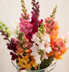Exceptionally robust stems, high yield, and uniform growth in the field or greenhouse. considered a . Edible Flowers, All Flowers, Summer Flowers, Wedding Flowers, Snapdragon Flowers, White Velvet, Pink White, Flower Boutique, Annual Flowers