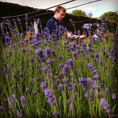 #lavender #horticulture #handsonlearning #WeAreCentral