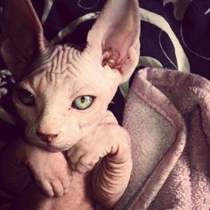 Sphynx kitten.  MUST HAVE. I may require 2.