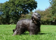 France. Berger de Brie (Briard) grey (slate) uncropped ears