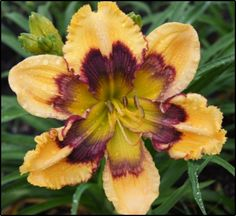 Kaleidoscope Thunderstorm from THE LILY FARM // Mark Carpenter Daylilies