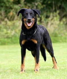 "Beauceron - The Beauceron is nicknamed ""red stockings"" because of the socklike red markings on its feet. Relatively unknown outside of France, the Beauceron (Berger de Beauce) is a large, short-coated dog with cropped erect ears and a long tail that was originally bred to herd large flocks of sheep."