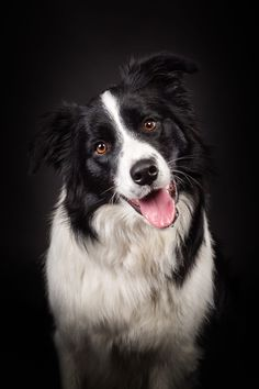 A Border Collie Looking so Happy. Border Collie Humor, Border Collie Puppies, Collie Dog, Australian Shepherds, Aussie Shepherd, West Highland Terrier, Cute Dogs And Puppies, I Love Dogs, Doggies
