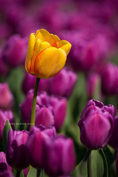 agoodthinghappened:  One Yellow in a Sea of Purple by . Andrew Dunn . on Flickr.