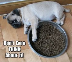 Overly Protective Pug is Forever Vigilant - Page 5 of 18 - Pug Meme, funny cute pugs