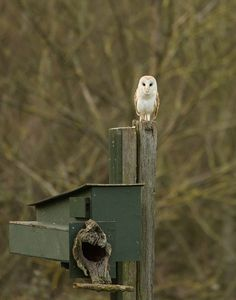 1000 images about nichoirs pour chouettes on pinterest tawny owl owl house and barn owls. Black Bedroom Furniture Sets. Home Design Ideas