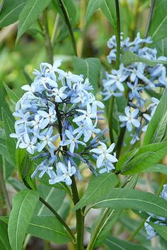 Common Bluestar (Amsonia tabernaemontana) A native of thin woodlands and plains with a range from Illinois to New Jersey and south to Texas and Florida.