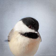 Bird Art, Chickadee Print, Animal Art Print, Bird Photography Print, Woodland Critter Bird Photo, Fine Art Photograph in Slate Blue via Etsy
