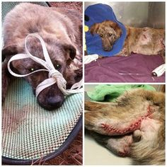 **DONATIONS NEEDED!** Puppy leads horseback riders to injured pup that had been dragged behind vehicle