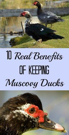 Muscovy ducks are popular choices on the homestead. Here are some of the pros of these ducks. (The list doesn't include meat or egg production!) #raisingchickens Backyard Ducks, Backyard Farming, Chickens Backyard, Backyard Ideas, Raising Ducks, Raising Chickens, Raising Farm Animals, Duckling Care, Keeping Ducks